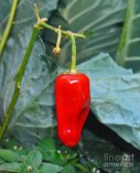 Hot Peppered