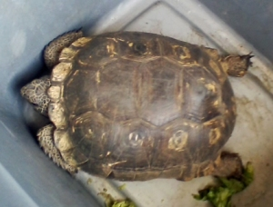 Turtle-Tortoise-Gopher