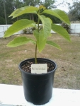 Davenport-Avocado-1FT-WEV