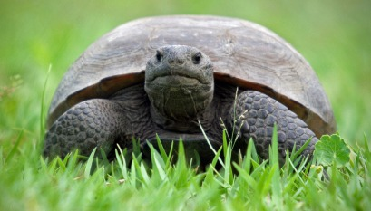 Gopher tortoise by Craig O'Neal.