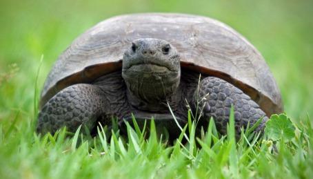 Gopher tortoise by Craig O'Neal.
