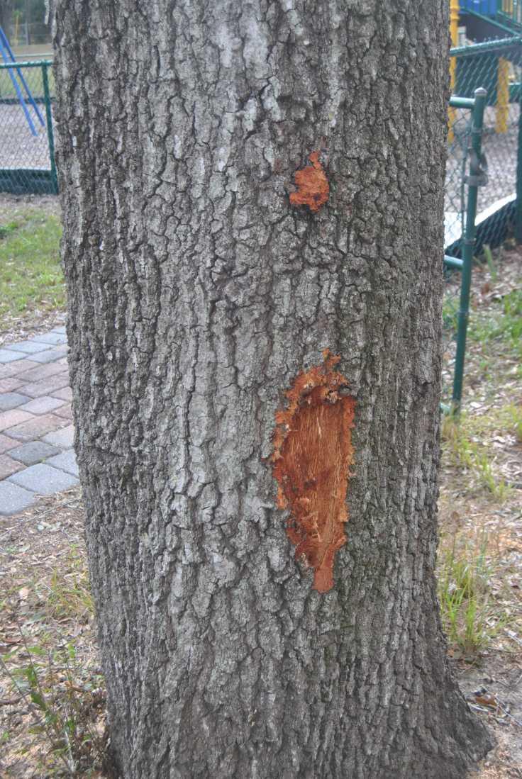 Live Oak Damage